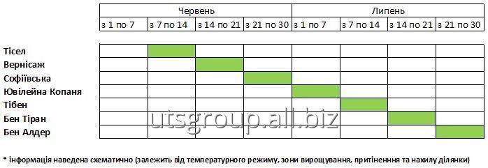 sazhency_chernoj_smorodiny