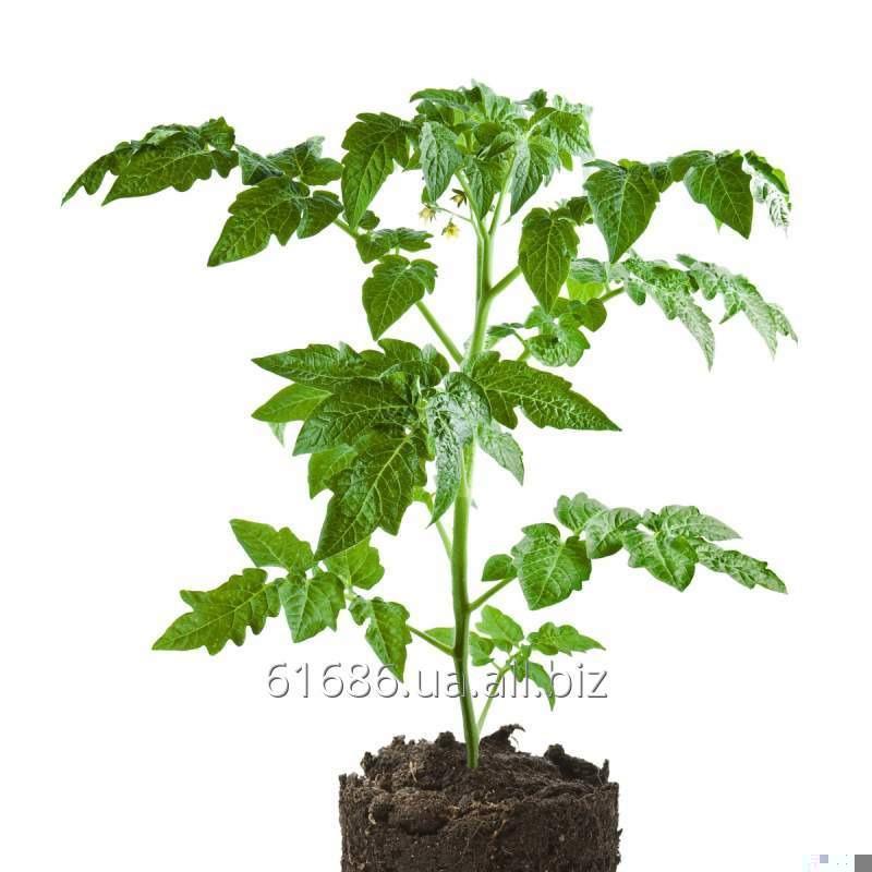 rassada-tomat-slivka-promyshlennye-gibridy-namib