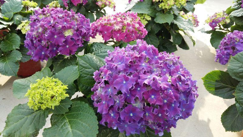 gortenziya_krupnolistnaya_curly_sparkle_purple