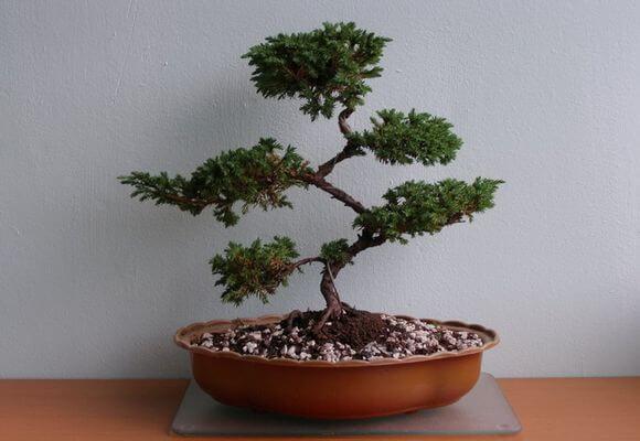 mozhzhevelnik_kitajskij_stricta_bonsaj