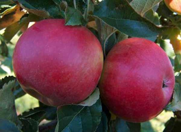 джонатан яблоня описание фото