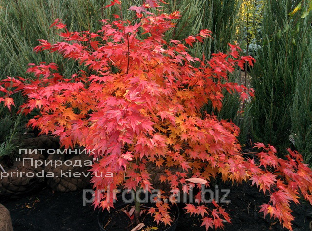 klyon_yaponskij_dlanelistnyj_acer_palmatum_orange_dream_100_120_sm