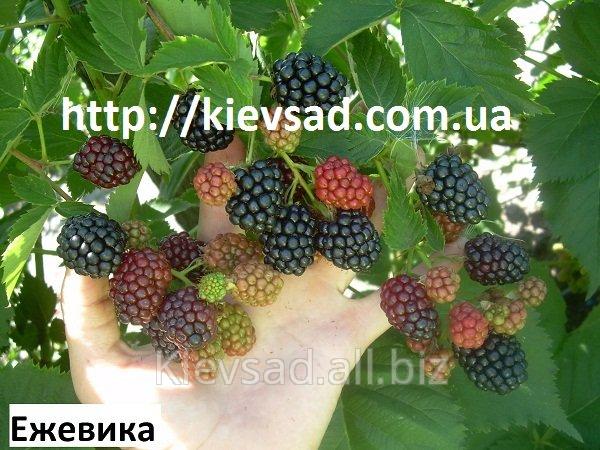 sazhency_ezheviki_sort_oushito