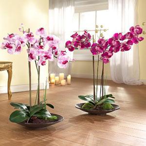 Орхидея цена цветок