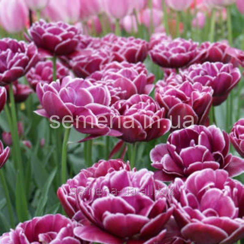 tulip touch essay help