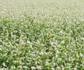 Семена гречки Дикуль (посевной материал гречихи)