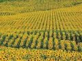 Семена подсолнечника Толедо экстра гранстар