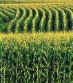 Семена кукурузы Кристель ЕС