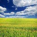 Семена кукурузы Биг Стар