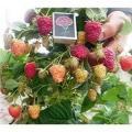 Отростки садовой малины Брусиловский Стандарт открытая корневая система