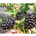 Ежевика двухлетниеReuben- Оуачита ,Reuben,Gay, Thorn free Black Berry весна 2018