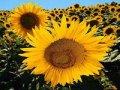 Семена подсолнечника Антей + экстра (гранстарустойчивый)