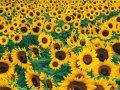 Насіння соняшнику «Український F1»