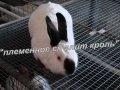 Племенные кролики мясной породы по Украине, Бровары