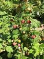 Кущи ремонтантной садовой малины Брусиловский Стандарт