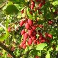 Барбарис Berberis Buxifolia Nana 20-25
