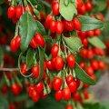 Барбарис Тунберга Berberis Thunb. Bagatelle 10-15 bushy
