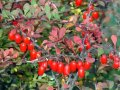 Berberis Thunb Japanese barberry. Red Rocket 25-30
