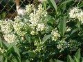 Бирючина обыкновенная Ligustrum Vulgare 50-80 2sh