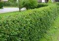 Бирючина обыкновенная Ligustrum Vulgare Atrovirens 40-60 2sh