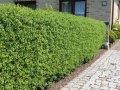 Бирючина овальнолистная Ligustrum Ovalifolium 60-90 3/5sh