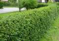 Бирючина овальнолистная Ligustrum Ovalifolium 60-90 3sh