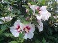 Гібіскус Hibiscus Syriacus 15-25