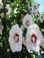 Гібіскус Hibiscus Syriacus 4-6mm