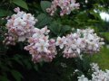 Deutzia of Deutzia Scabra Plena 40-60 2sh