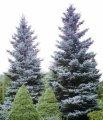 Ель колючая  ель голубая  – дерево высотой до 25 м; хвоя в разной степени серебристая; Picea Pungens Glauca 20-25