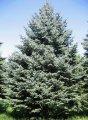 Ель колючая  ель голубая  – дерево высотой до 25 м; хвоя в разной степени серебристая; Picea Pungens Glauca 25-30