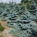Ель обыкновенная  Picea Abies  Excelsa 10-20