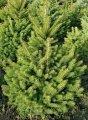Ель обыкновенная  Picea Abies  Excelsa 20-25