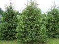 Ель сербская  Picea Omorika 125-150