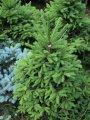 Ель сербская  Picea Omorika 40-60