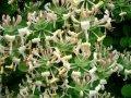 Жимолость  Lonicera Xylosteum 60-90 2/3sh
