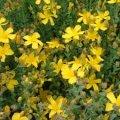 Зверобой Hypericum Calycinum