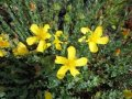 Зверобой Hypericum Calycinum 20-30 2/3sh