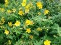 Зверобой Hypericum Hidcote 30-40 2sh