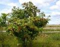 Калина Viburnum Opulus 100-120