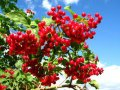 Калина Viburnum Opulus 10-20