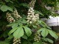 Каштан съедобный Castanea Sativa 30-50