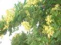 Кельрейтерия метельчатая Koelreuteria Paniculata 50-80