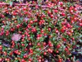 Кизильник Cotoneaster Franchetii 15-30