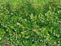 Кизильник Cotoneaster Franchetii 40-60