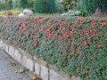 Кизильник Cotoneaster Franchetii 45-60 2/3sh