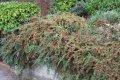 Кизильник Cotoneaster Franchetii 50-80 2/3sh