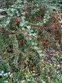 Кизильник Cotoneaster Horizontalis 40-60