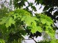 Клен серебристый Acer Saccharinum 60-90