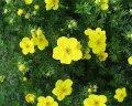 Лапчатка Potentilla Fruticosa Goldteppich 20-25 3sh
